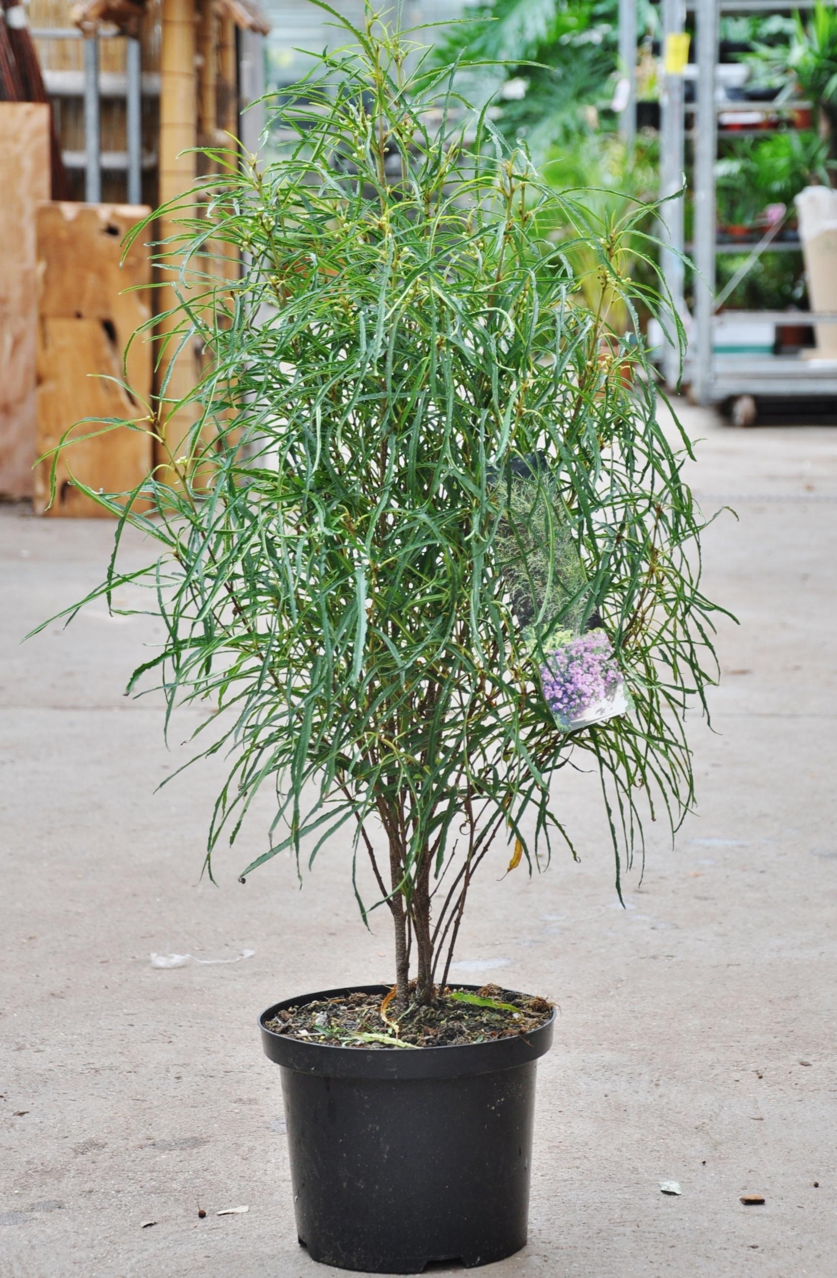 Der Farnblättrige Faulbaum (Rhamnus frangula)