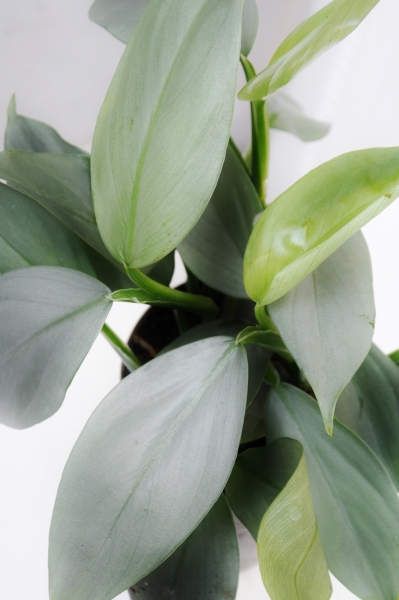 Philodendron Grey Sticks