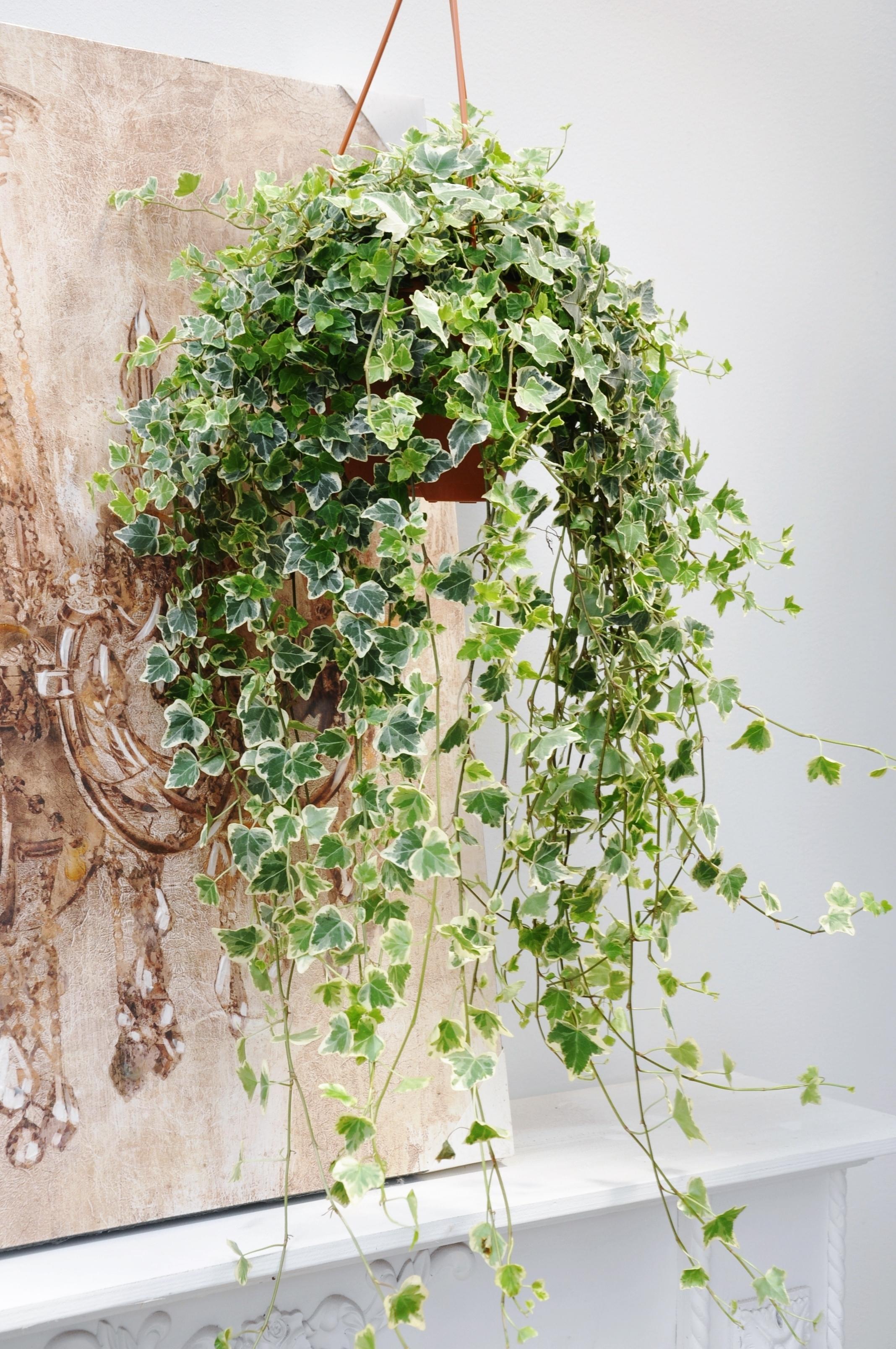 Klassische, pflegeleichte Ampelpflanze