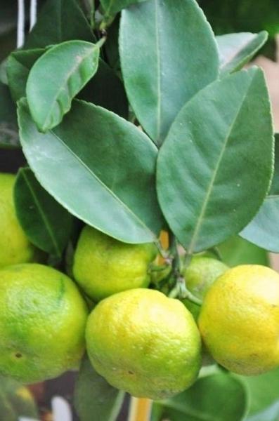 Limettenbaum (Römische Limette) Pursha