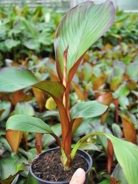 Bananenstaude (Rote Zierbanane, Abessinische Banane)