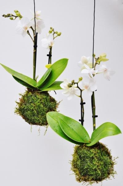 Kokedama (Moosball) weiße Orchidee
