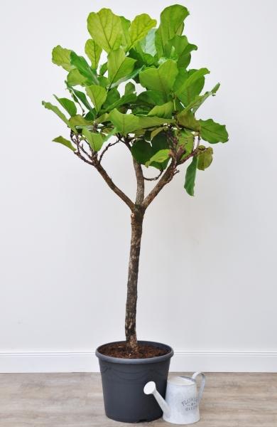 Ficus (Geigenfeige) Stamm