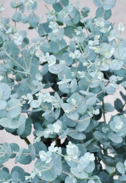 Eucalyptus (frostverträglich)