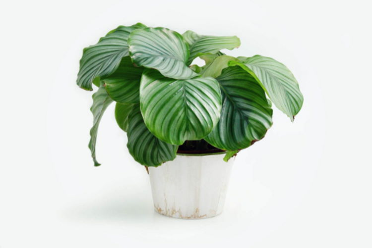 AdobeStock_321643143_Calathea-Orbifolia-Prayer-Plant_PohKim_tiny_750