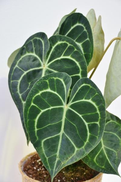 Herzblattblume (Anthurium)