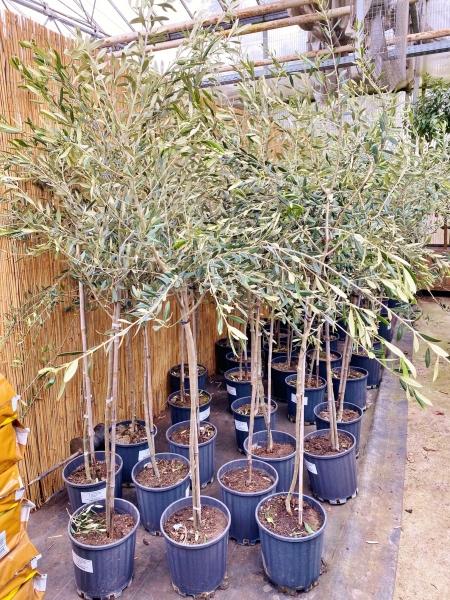 Olivenbaum (Frantoio) bis -20°C frostverträglich