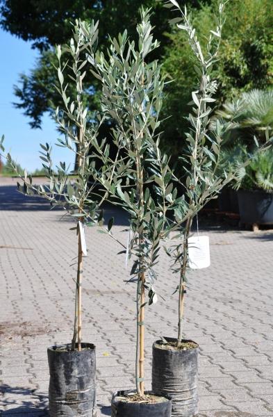 Olivenbaum (Leccino) bis -20°C frostverträglich