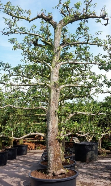 Birne (Alter Plantagenbaum) Doyenné du Comice