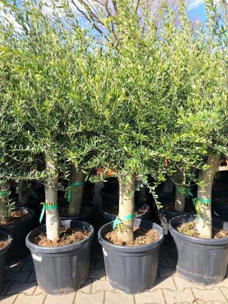 Olivenbaum (Picual)