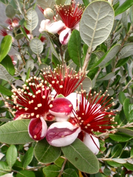 Brasilianische Guave (Ananas-Guave, Feijoas)