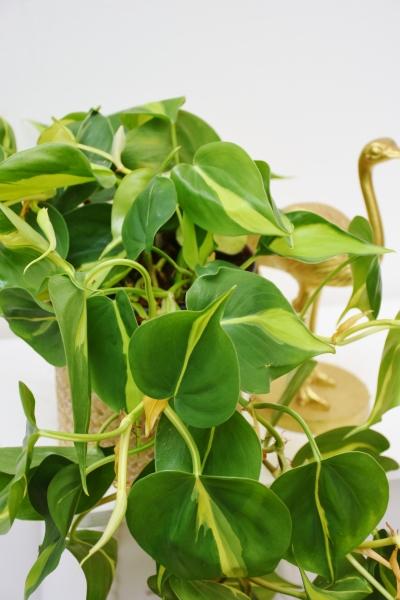 Baumfreund (Philodendron) Scandens Brazil Ampel