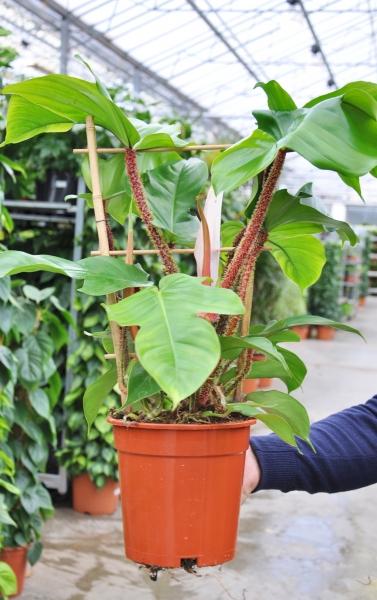Baumfreund (Philodendron squamiferum)