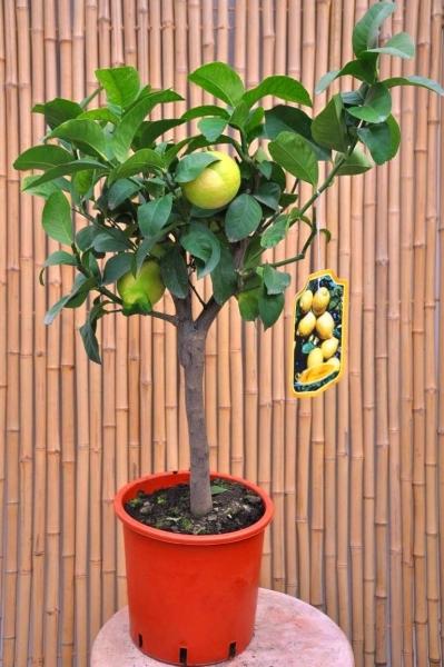 Zitronenbaum (Zitronatzitrone, Cedrat)