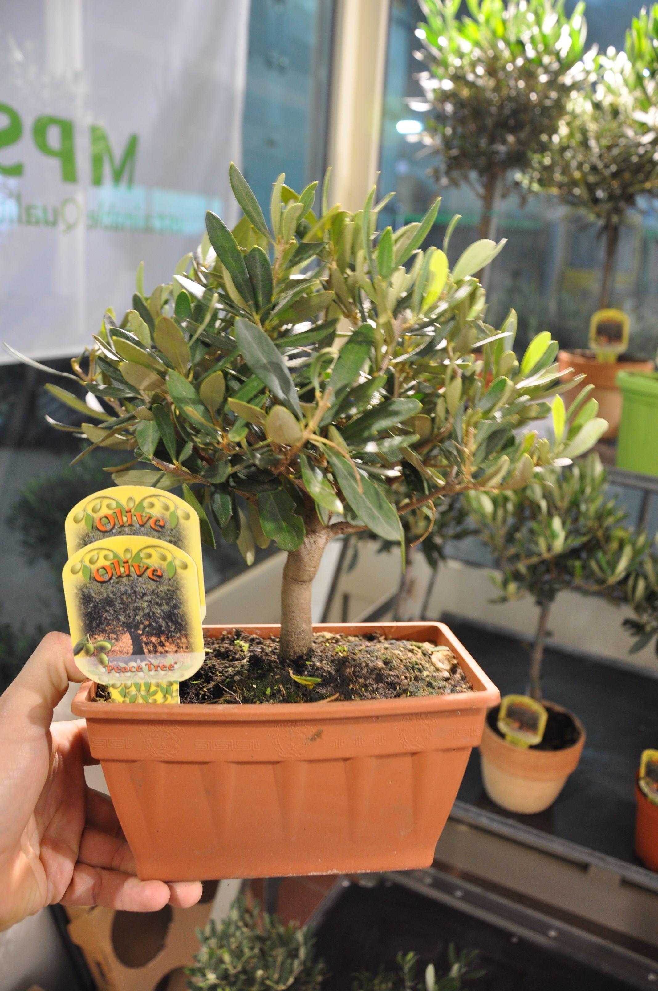 Olivenbaum im kleinen balkonkasten olivenb ume for Hydropflanzen versand