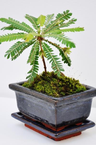 Südseepalme (mit Keramik-Topf) klein