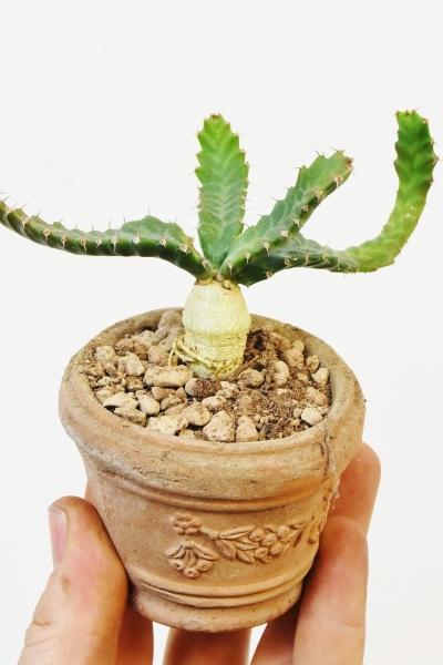 Wolfsmilch (Euphorbia) Stellata