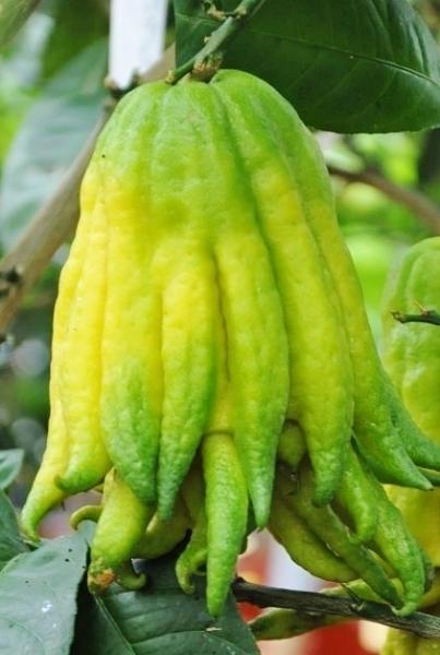 Zitronenbaum (Buddhas Hand) Variegato