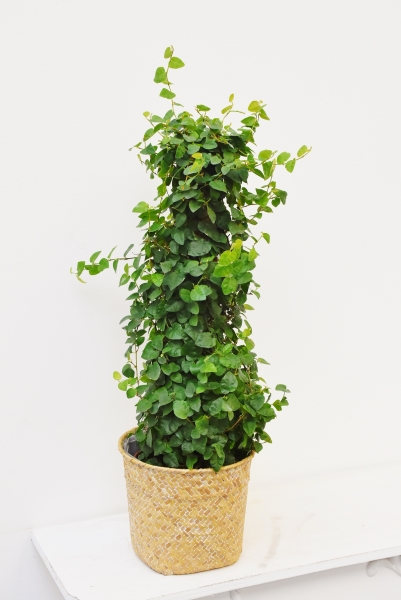 Ficus (Kletterfeige) green Sunny Moosstock