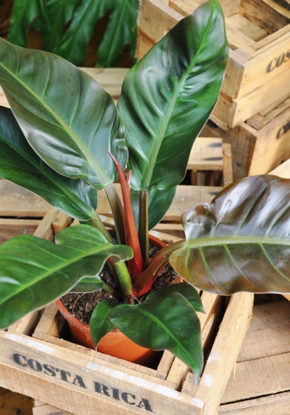 Philodendron Imperal Red