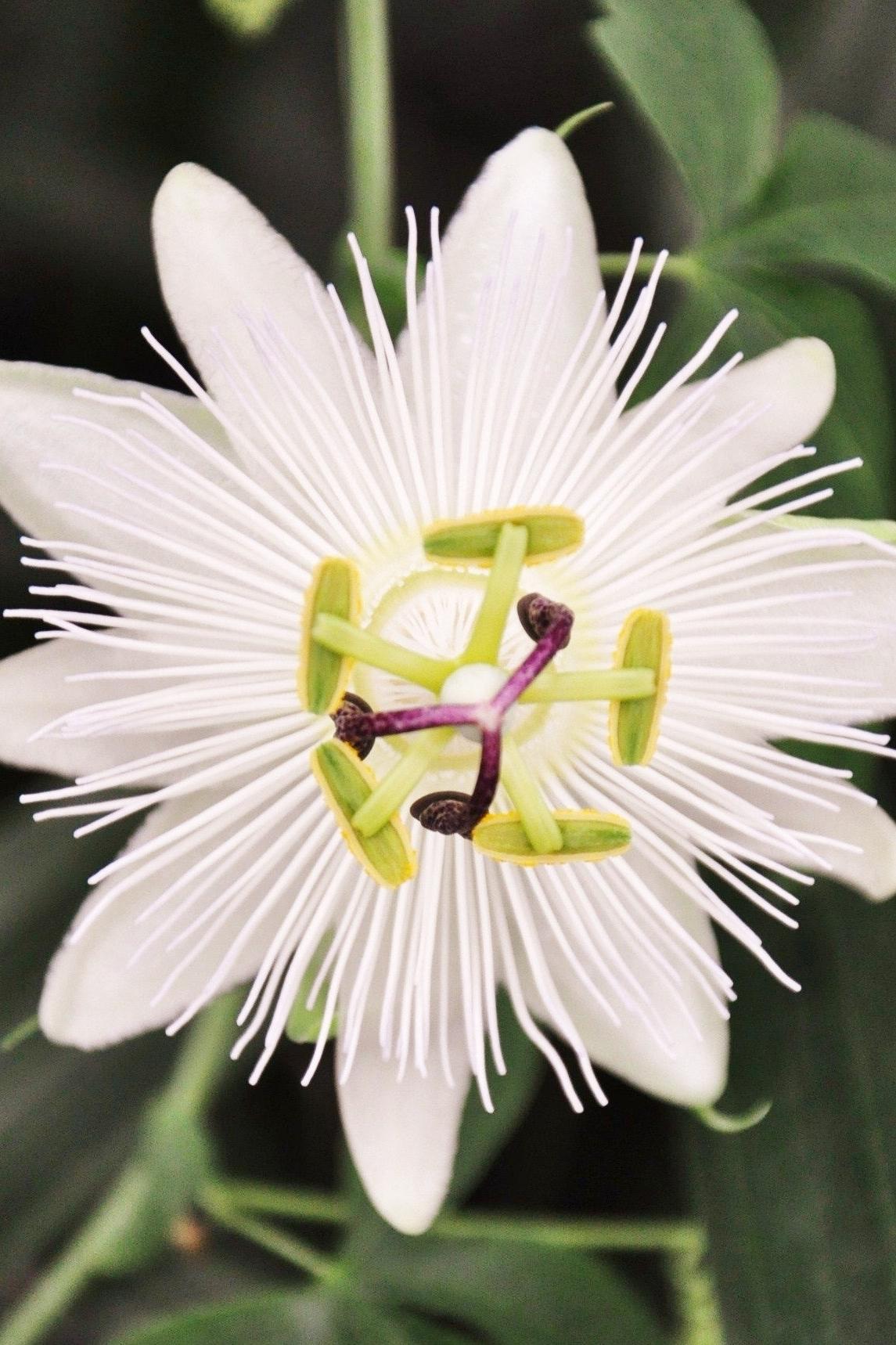 Kletterpflanze mit Blüten- und Fruchtschmuck