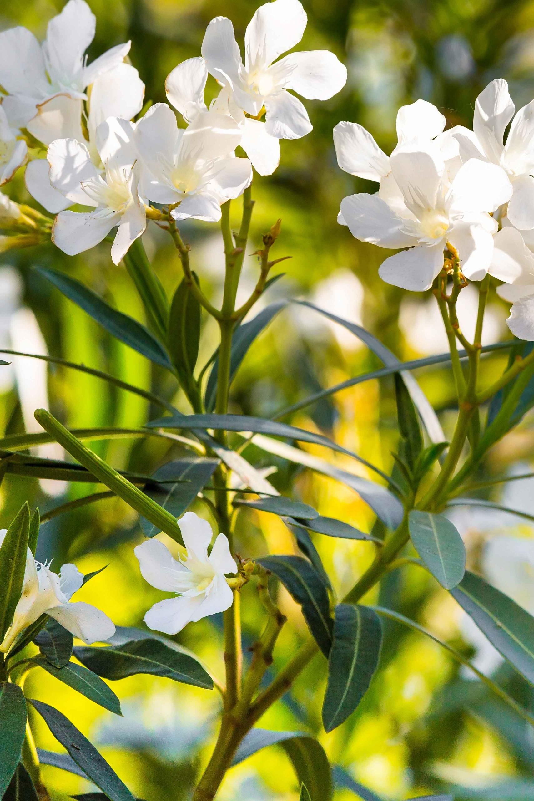 Der Oleander | Der Palmenmann Oleander Als Zimmerpflanze Richtig Pflegen