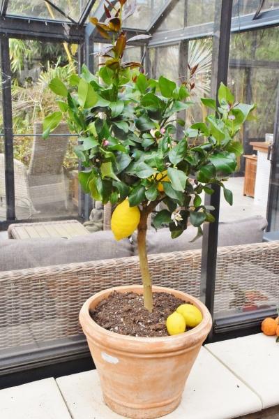 Zitronenbaum (Carrubbaro) aus Italien