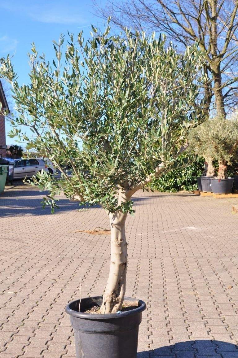 olivenbaum erde olivenbaum pflanzen so gelingt die. Black Bedroom Furniture Sets. Home Design Ideas