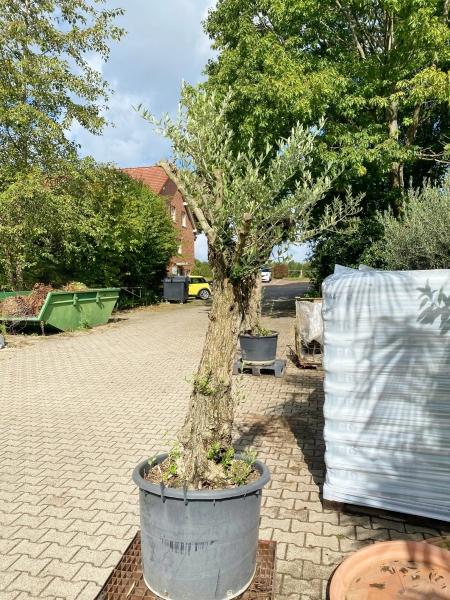 Olivenbaum (Hojiblanca) frosthart Einzelstück Nr. 25
