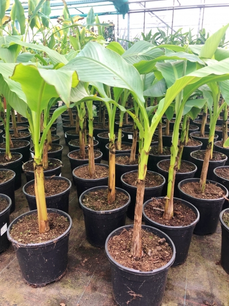 Bananenstaude (frostverträglich)