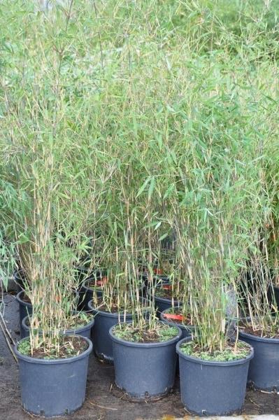 Bambus (Fargesia Great Wall) 15 Liter
