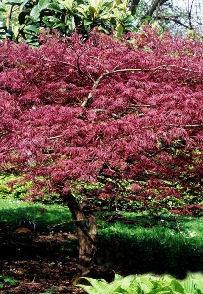 Roter Fächerahorn (Atropurpureum)