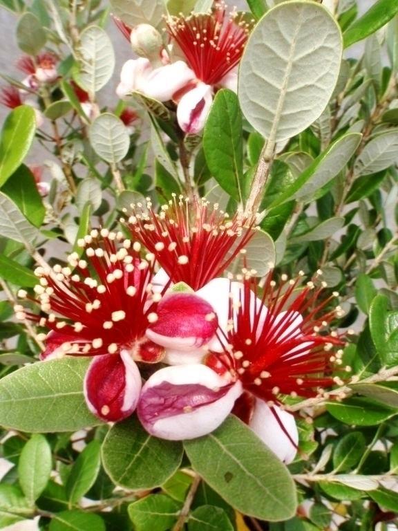 brasilianische guave ananas guave feijoas wochenangebot obstpflanzen obstpflanzen. Black Bedroom Furniture Sets. Home Design Ideas