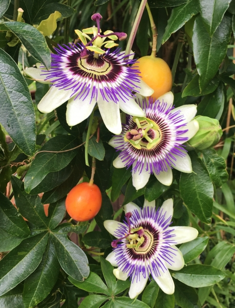 Passionsblume (frostverträglich)