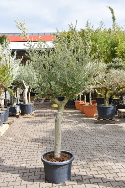 Olivenbaum (Hojiblanca) frosthart Sonderpreis