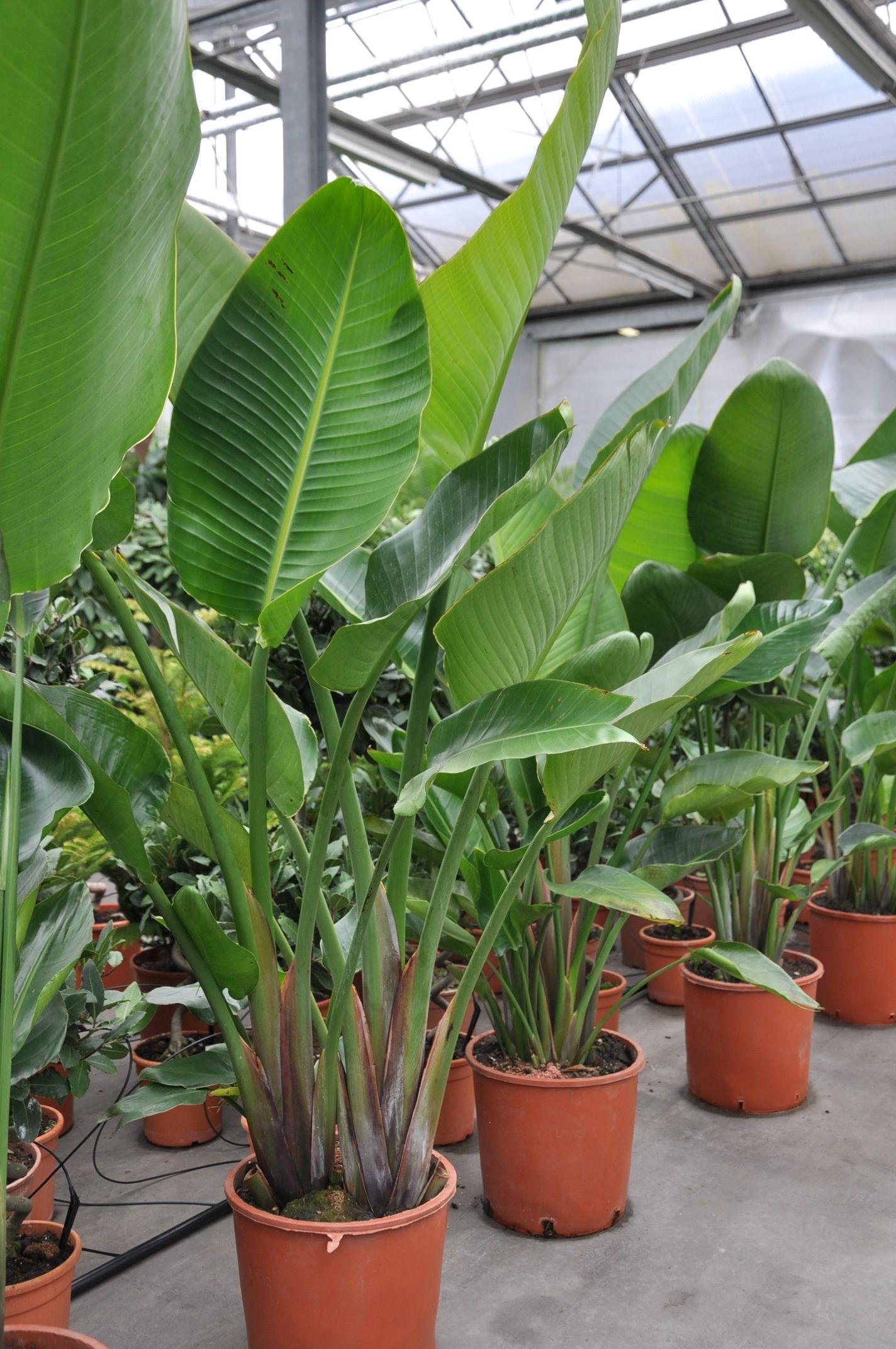 Strelitzie baumstrelitzie zimmerpflanzen themenwelt for Zimmerpflanzen versand