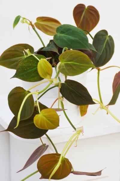 Baumfreund (Philodendron) Micans Rarität