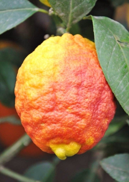 Zitronenbaum (Rote Zitrone) Rosso aus Italien