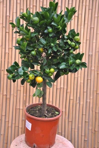 Orangenbaum (Zwergorange, Calamondine) aus Italien