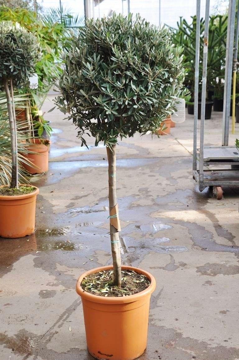 olivenbaum mit hochstamm olivenb ume pflanzen der palmenmann. Black Bedroom Furniture Sets. Home Design Ideas