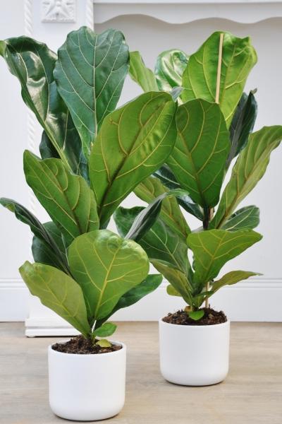 Ficus (Geigenfeige)