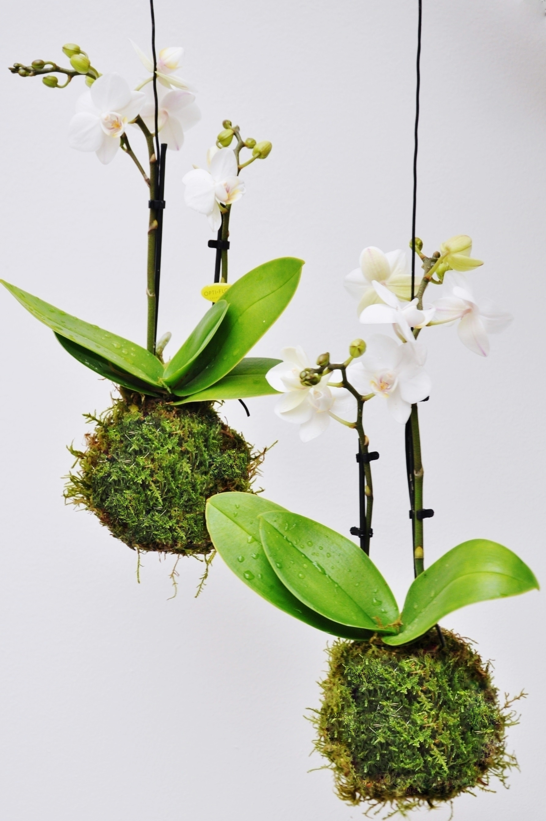kokedama moosball wei e orchidee kokedamas pflanzen der palmenmann. Black Bedroom Furniture Sets. Home Design Ideas