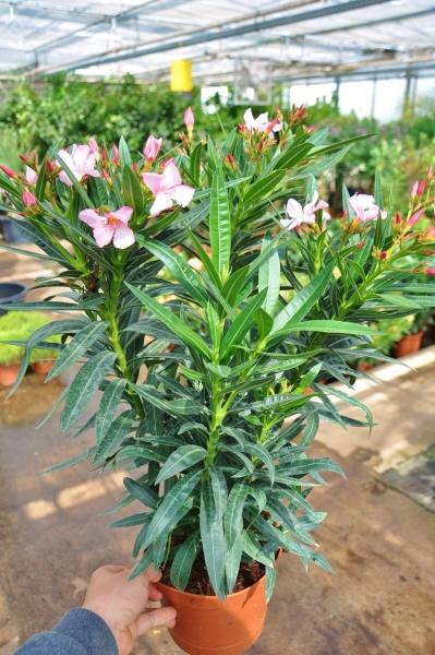 Oleander (rosa)