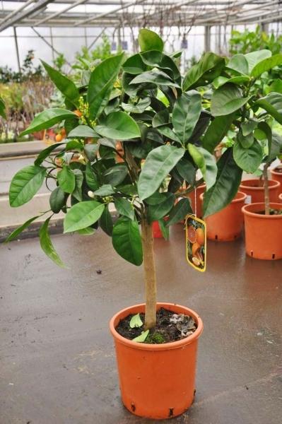 Orangenbaum (Blutorange) aus Italien