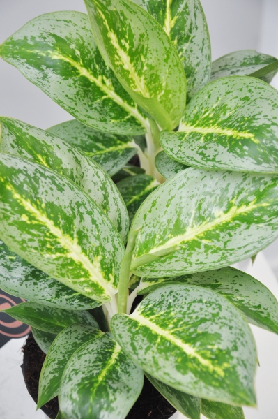 Kolbenfaden (Aglaonema) Key Lime
