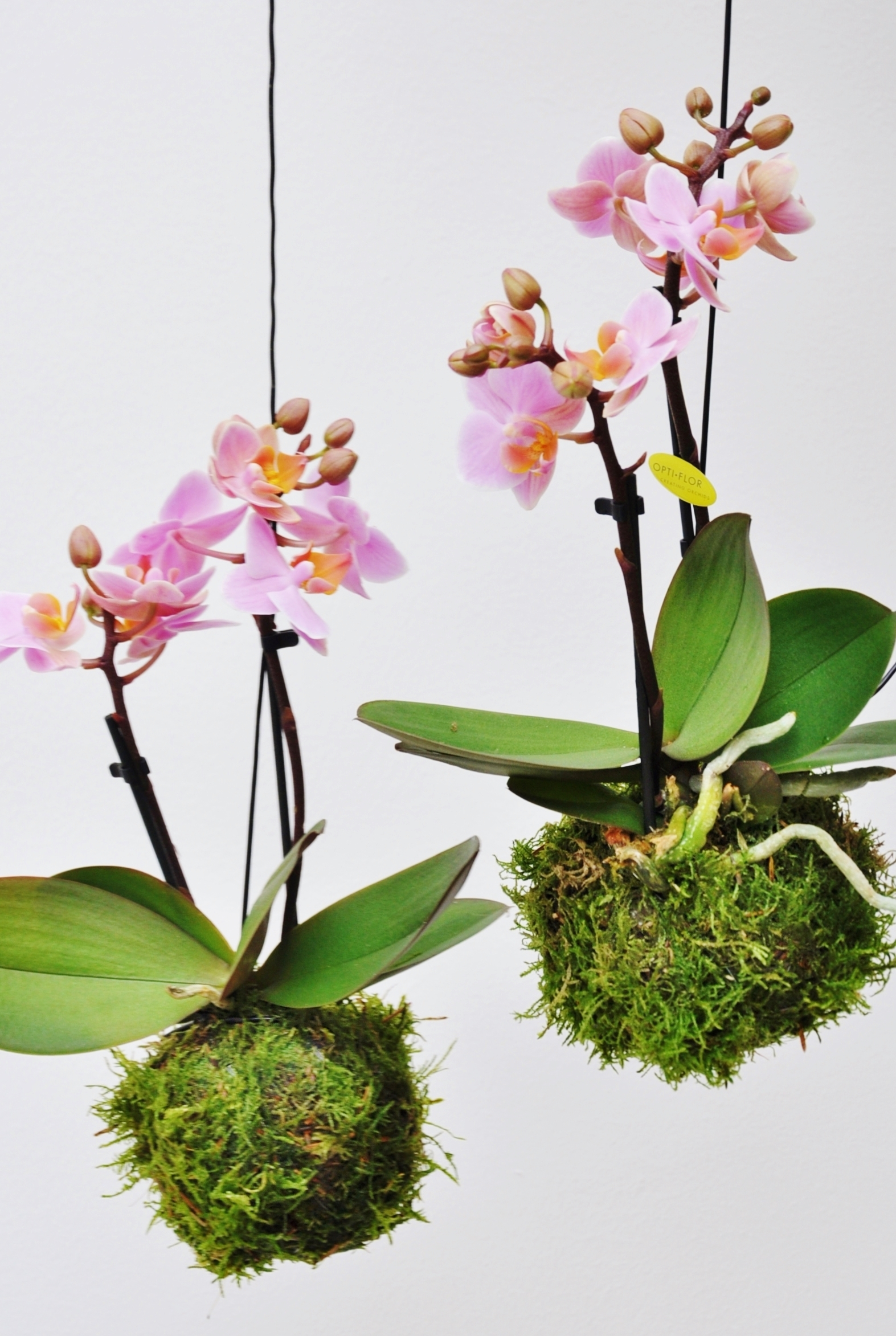 kokedama moosball rosa orchidee kokedamas pflanzen der palmenmann. Black Bedroom Furniture Sets. Home Design Ideas