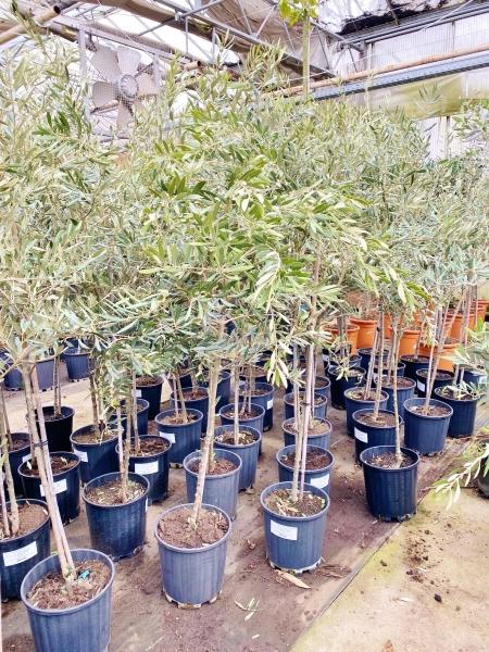 Olivenbaum Stamm (Picual)