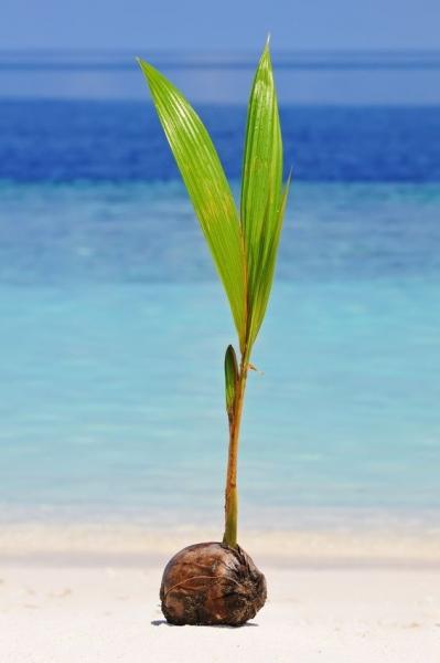 Kokospalme