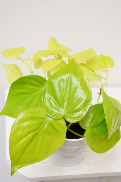Philodendron scandens lime