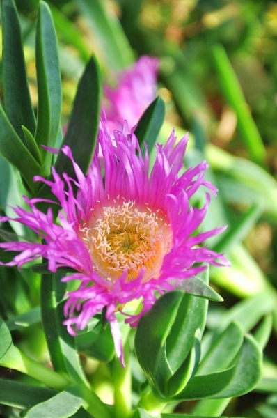 Mittagsblume (Spanische Mittagsblume, Hexenfinger) Restposten